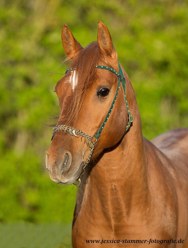 Verkaufspferde Tilsim 2.PNG